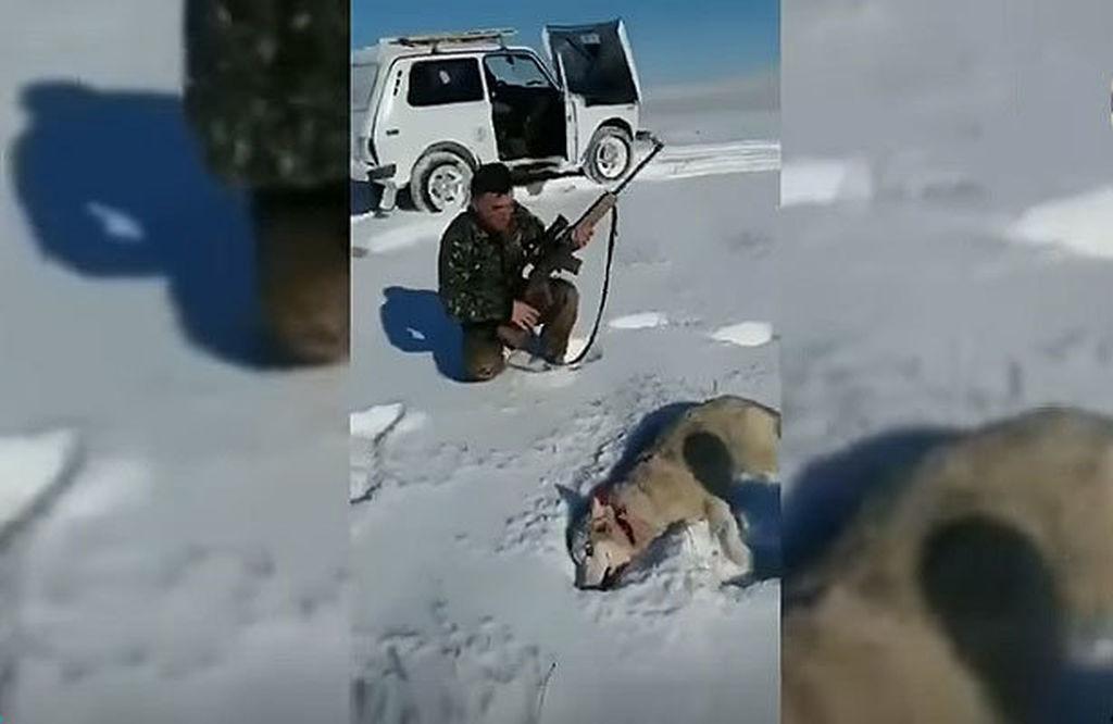 Güllələnmiş canavar gör nə oyun çıxardı! (Video izlə)